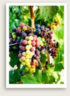 winegrapesmedoc_000002396474XSmall