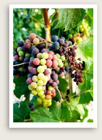 winegrapesmedocjpg